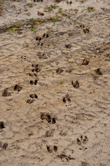 White-Tail Deer Tracks in Sand