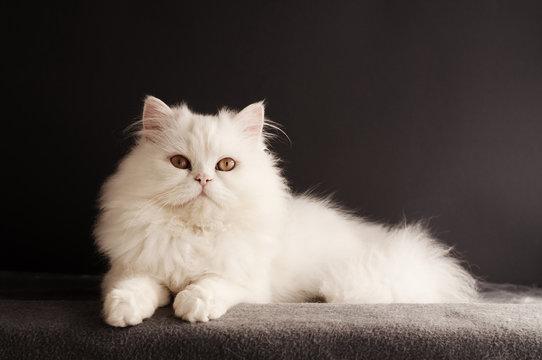 Fluffy white tomcat