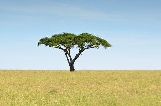 acacia dans la savane
