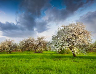 Wall Mural - Blooming apple trees in garden andre the high blue sky