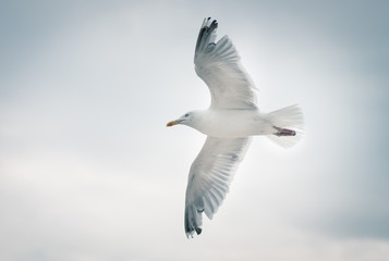Bottom view of flying seagull