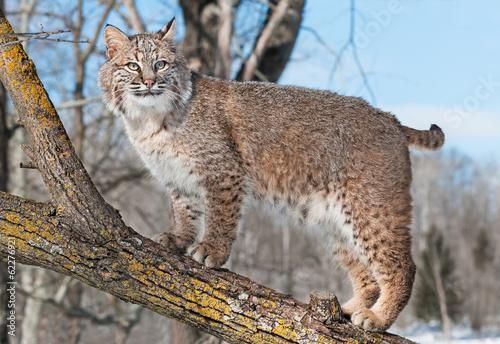 природа животные ветка деревья рысь nature animals branch trees lynx  № 559941 без смс