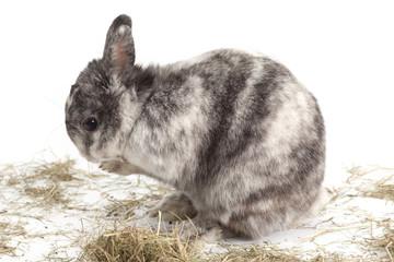 sich putzendes Kaninchen