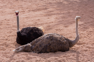 Two ostriches talking