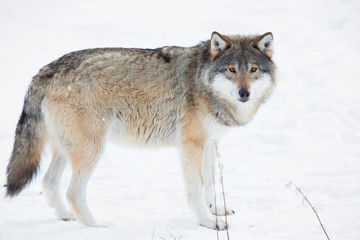 Wolf standing in the snow