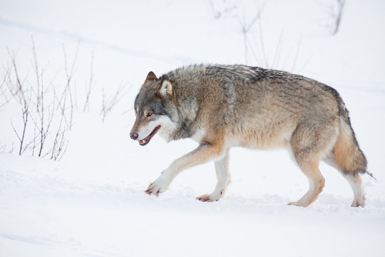 Lonely wolf walking in the snow