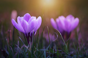 Crocus flower bloom in sunset