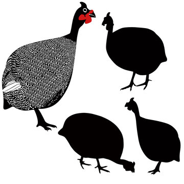 guinea fowl