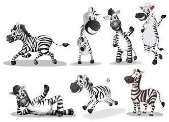 Playful zebras