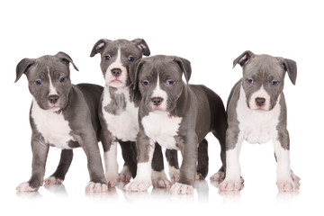 four american staffordshire terrier puppies
