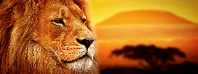Spoed Foto op Canvas Leeuw Lion portrait on savanna. Mount Kilimanjaro at sunset. Safari