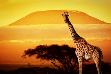 Wall Mural - Giraffe on savanna. Mount Kilimanjaro at sunset. Safari