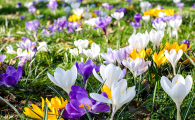 Fotobehang Krokussen Frühlingserwachen: Krokusse :)