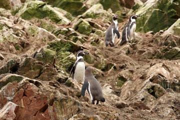 Humboldt Penguin in the island Ballestas, Paracas  in Peru.