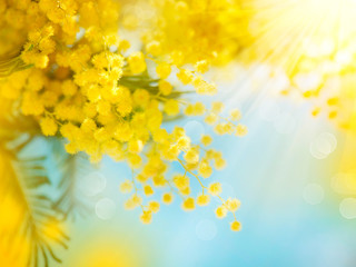 Fotoväggar - Mimosa Spring Flowers Easter background. Blooming mimosa tree