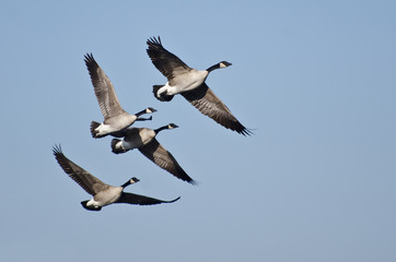 Four Canada Geese Flying in Blue Sky