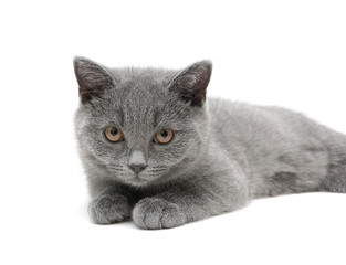 kitten (Scottish Straight breed, age - 3.5 months) on a white ba