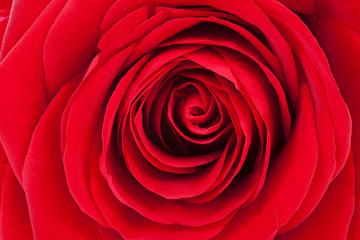 Wallpaper of beautiful red rose in closeup