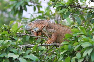 Iguane Costa Rica