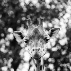 Isolated giraff close up portrait