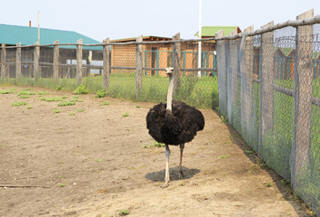Adult ostrich enclosure. Altai. Russia.