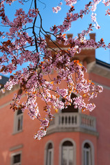 Blossiming cherry tree across a typical building and blue sky
