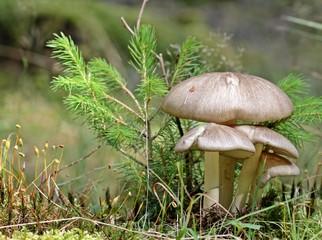 Breitblatt-Rübling (Megacollybia platyphylla)
