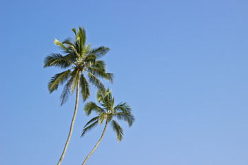 Two palms at blue sky background. Horizontal image