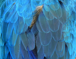 Blue bird feathers in close up details
