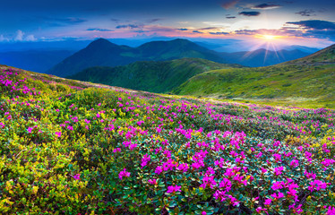 Magic pink rhododendron flowers in the mountains.