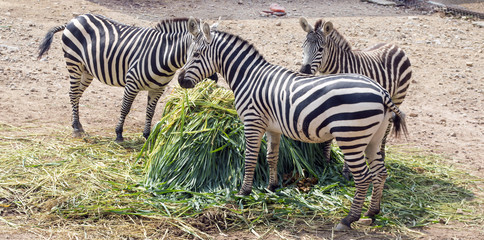 happy zebra family eating grasss nice n mint colour