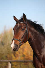 Bay horse portrait with bridle