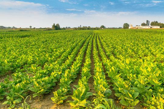 soybean field  in sunlight