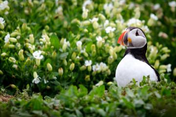 Klistermärke - UK Farne Island Puffin
