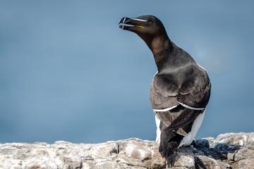 Fotoväggar - Farne Island Razorbill