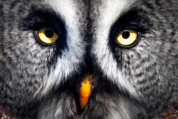 Wall Mural - Great Grey Owl close-up
