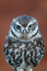 Wall Mural - UK Little Owl