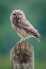Fototapete - UK Wild Little Owl