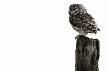 Wall Mural - UK Little Owl on white