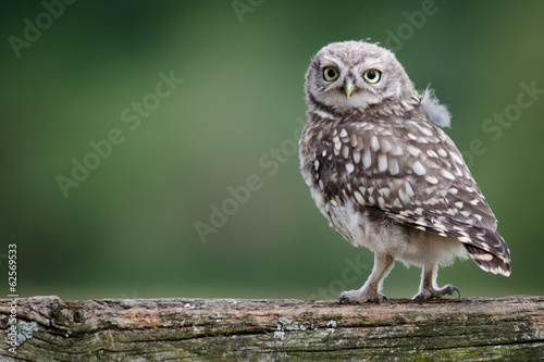 Fototapete UK Wild Llittle Owl