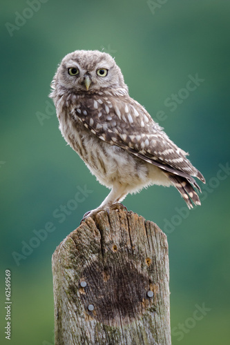 Wall mural UK Wild Little Owl