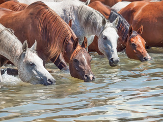 drinking arabian horse in the lake. sunny day