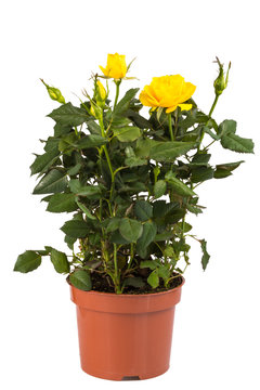 yellow rose bush in pot isolated on white