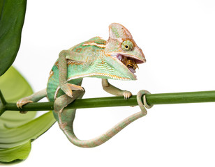 Wall Mural - Chamaeleo calyptratus, male, isolated on a white background