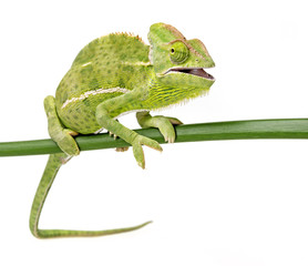 Fototapete - Chamaeleo calyptratus, female, isolated on a white background