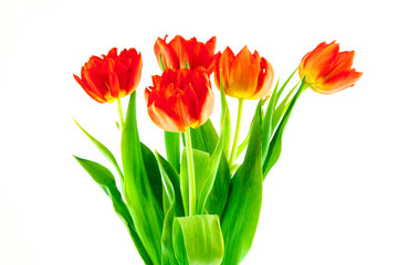 bouquet of red tulips isolated