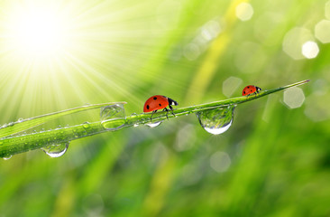 Wall Mural - fresh morning dew and ladybirds