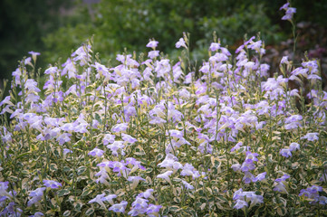 Vintage photo of meadow with purple flowers.