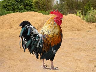 Thailand male chicken