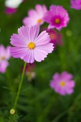 Comos flower